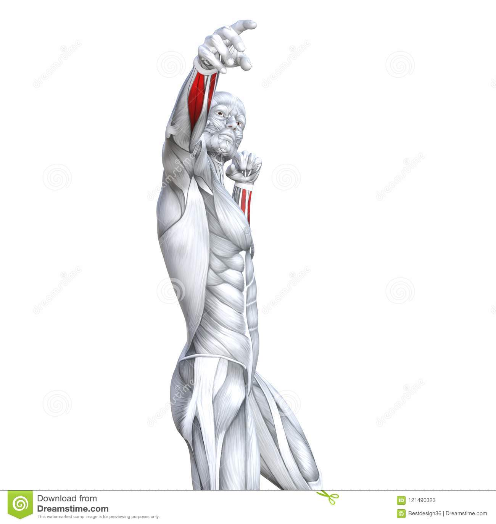Anatomía Humana Fuerte Apta Del Pecho Del Ejemplo 3D Stock de ...