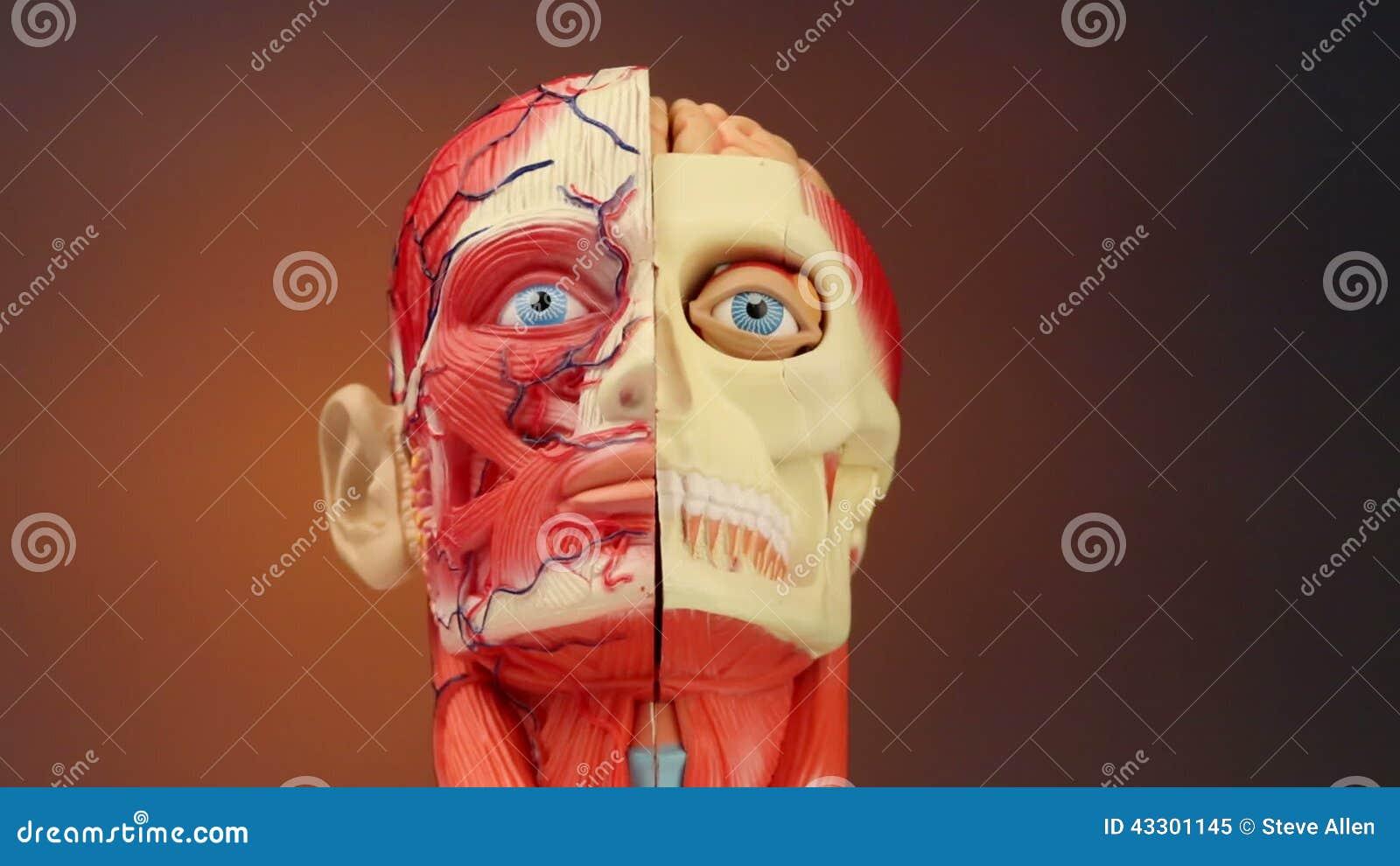 Anatomía humana - HD almacen de video. Imagen de músculos - 43301145
