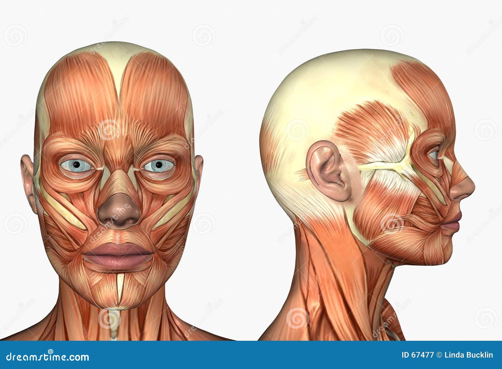 Anatomía Humana - Músculos De La Cara Stock de ilustración ...