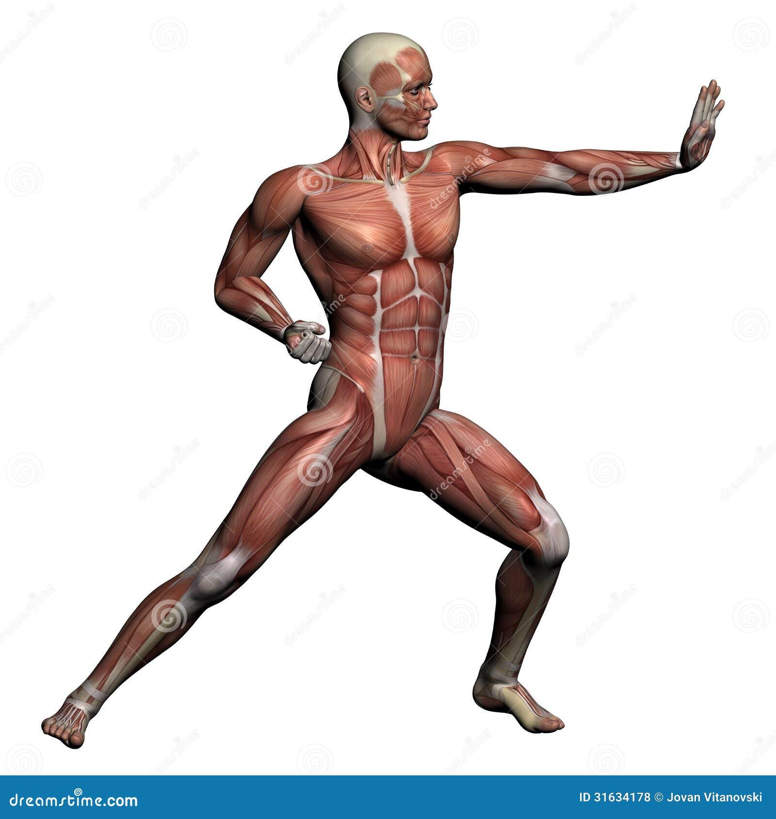 Anatomía Humana - Músculos Masculinos Stock de ilustración ...
