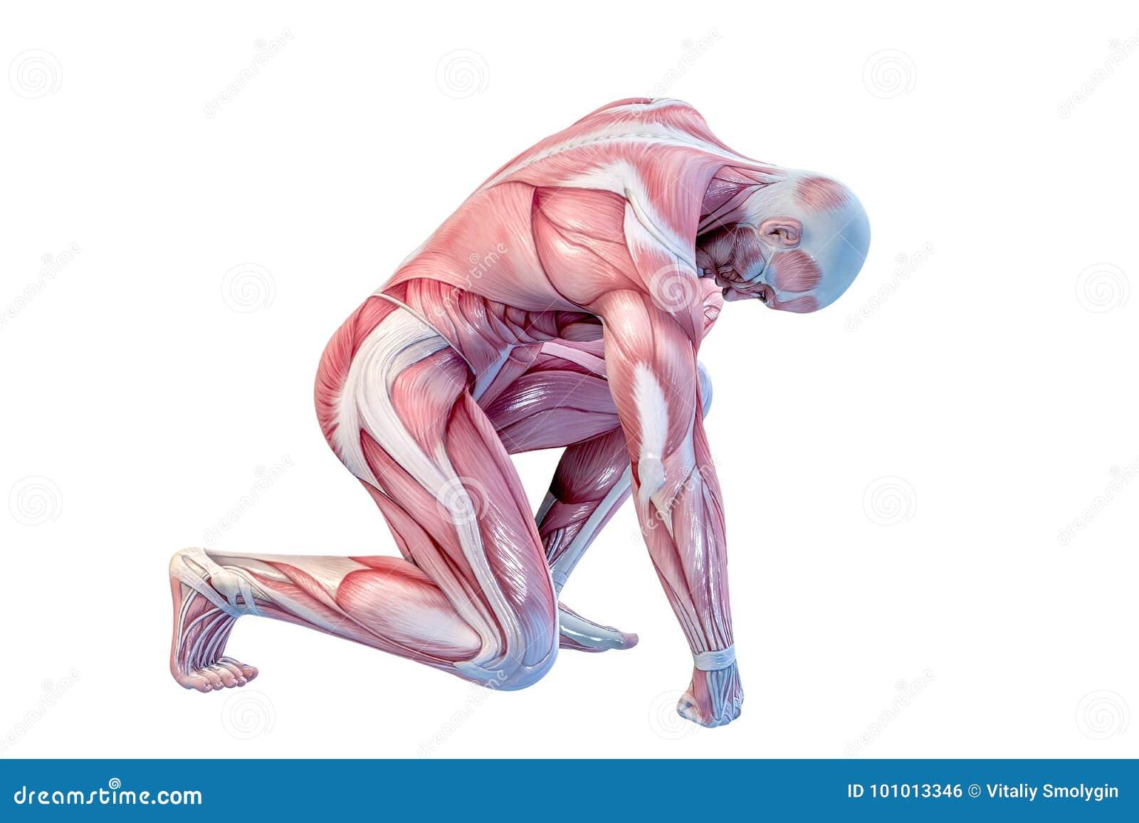 Anatomía Humana - Músculos Masculinos Ilustración 3D Stock de ...