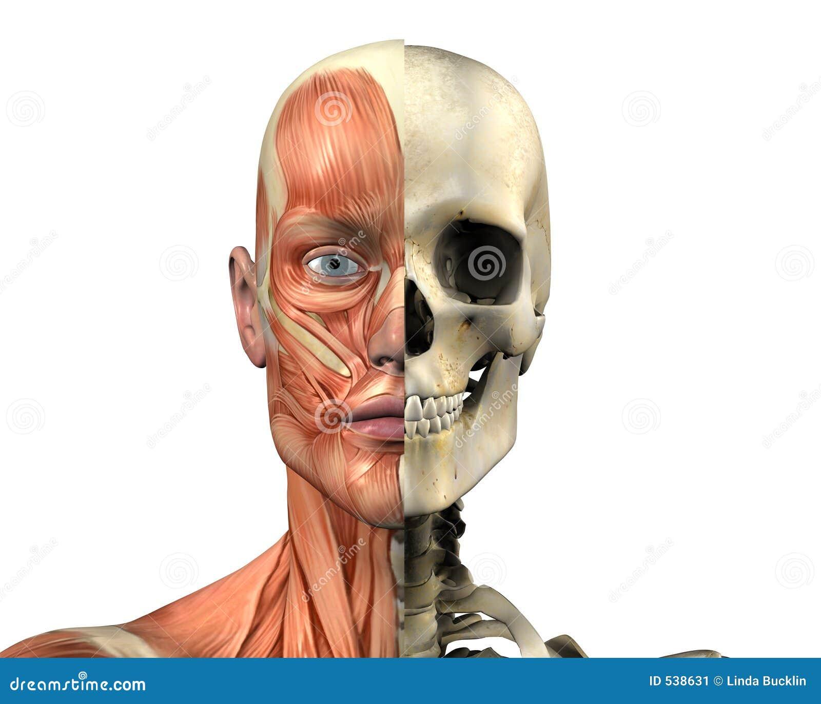 Anatomía Humana - Músculos Y Cráneo - Con El Camino De Recortes ...