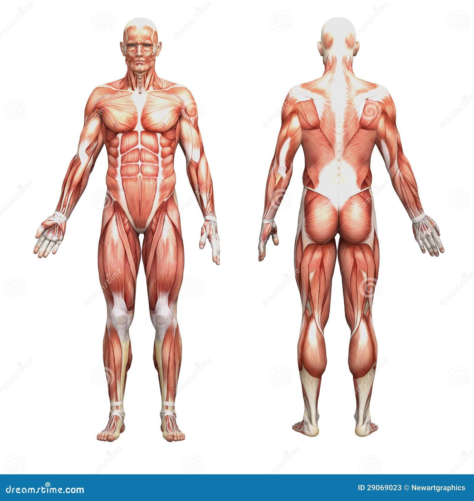 Anatomía Humana Masculina Atlética Y Músculos Stock de ilustración ...