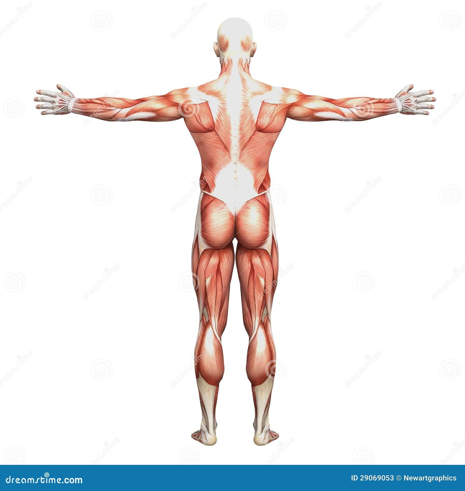 Increíble Músculo Humano Anatomía Fotos Cresta - Anatomía de Las ...