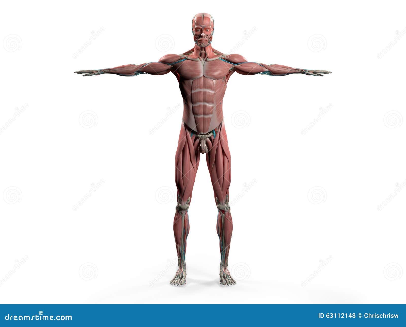 Anatomía Humana Que Muestra El Frente Completo Del Cuerpo Stock de ...