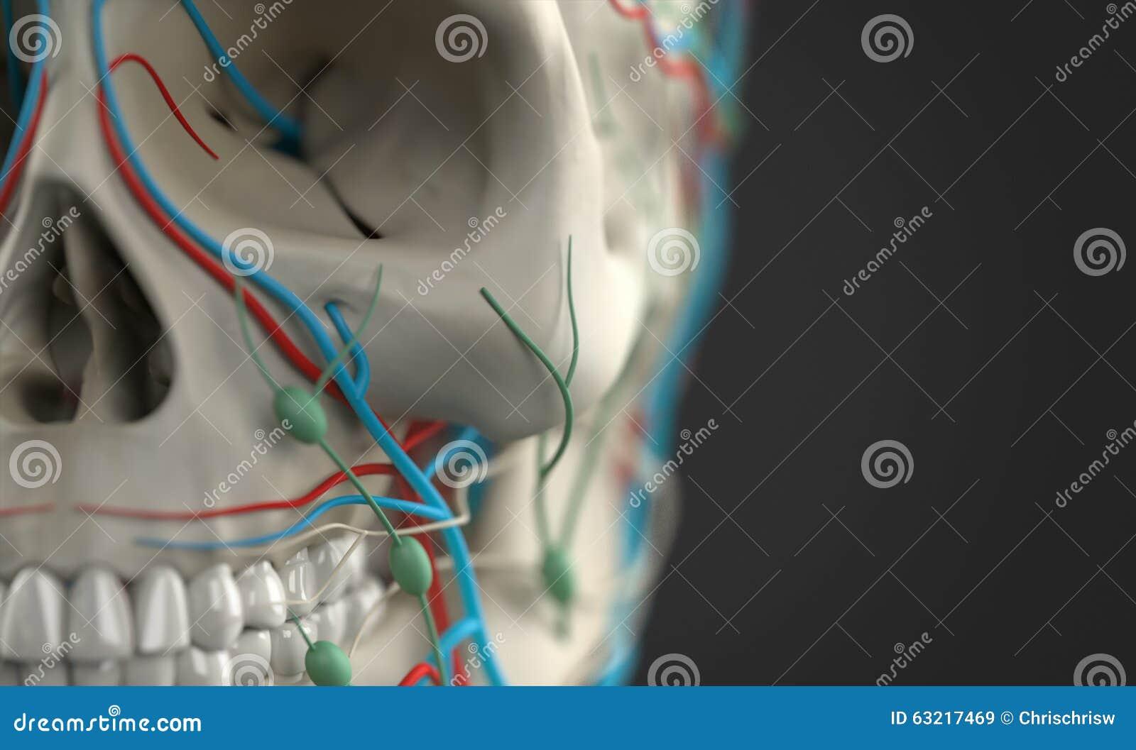 Anatomía Humana Que Muestra El Primer Del Cráneo Imagen de archivo ...