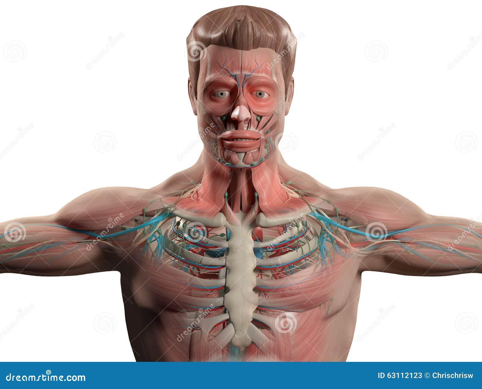 Anatomía Humana Que Muestra La Cabeza, Hombros Y El Torso Stock de ...