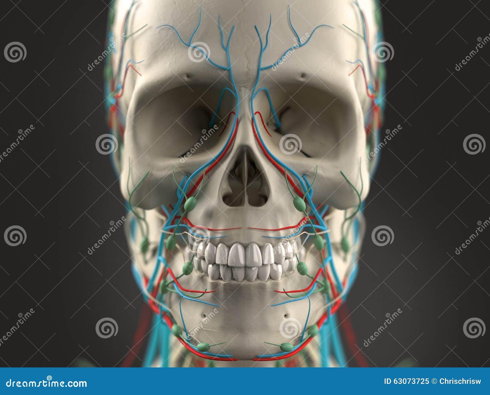 Anatomía De La Nariz Humana Ilustración del Vector - Ilustración de ...