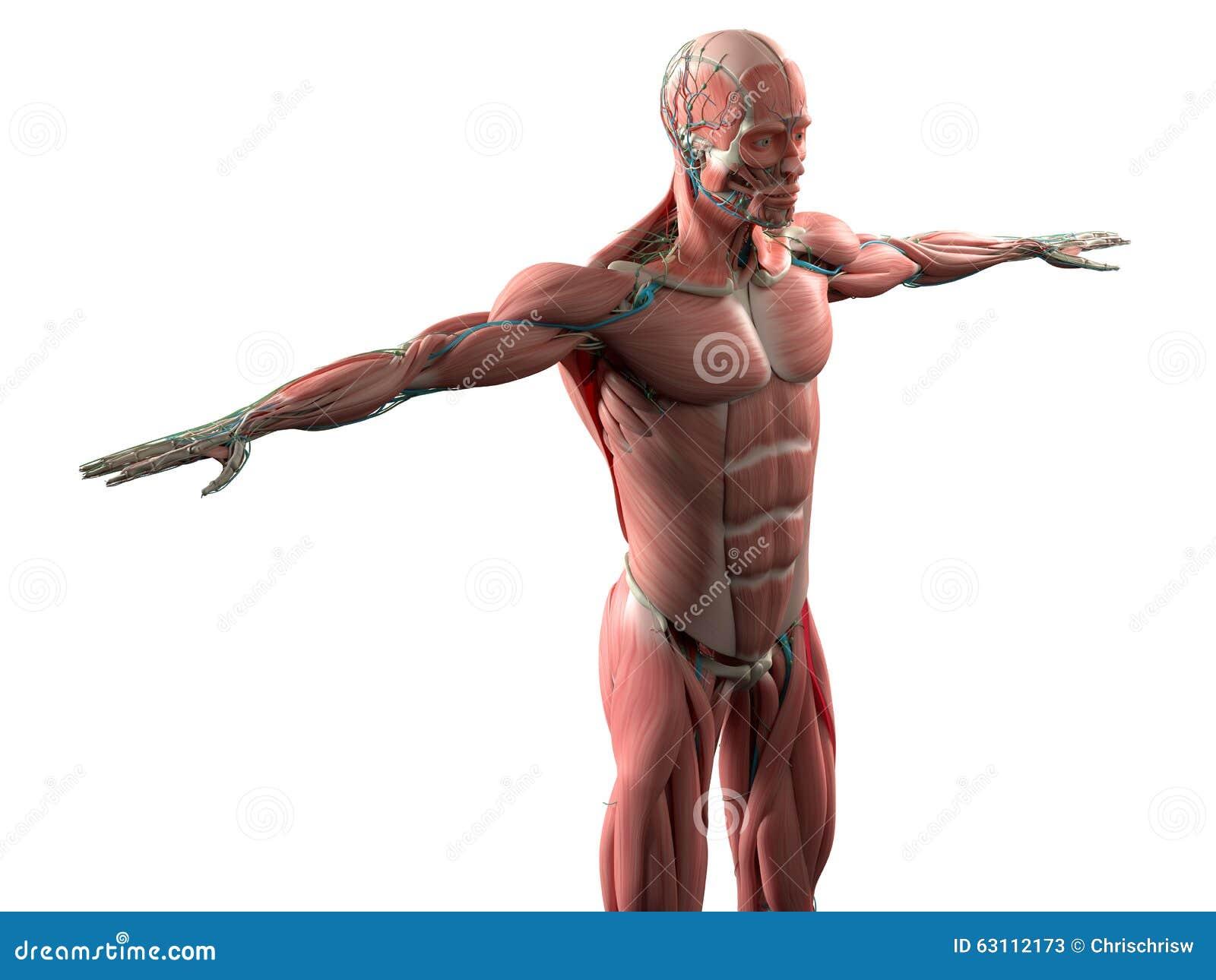 Anatomía Humana Que Muestra La Cara, La Cabeza, Hombros Y El Sistema ...