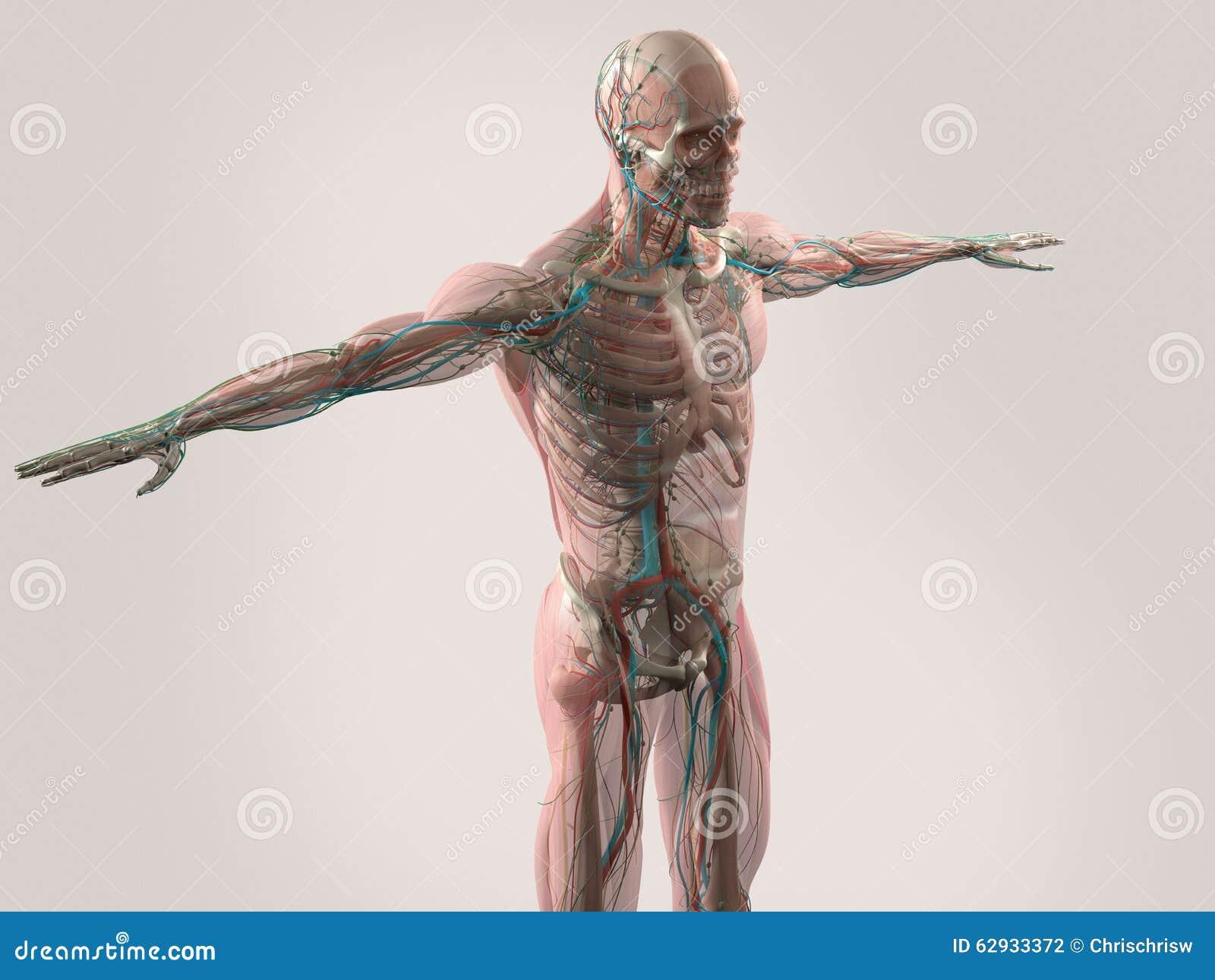 Anatomía Humana Que Muestra La Cara, La Cabeza, Hombros Y El Torso ...