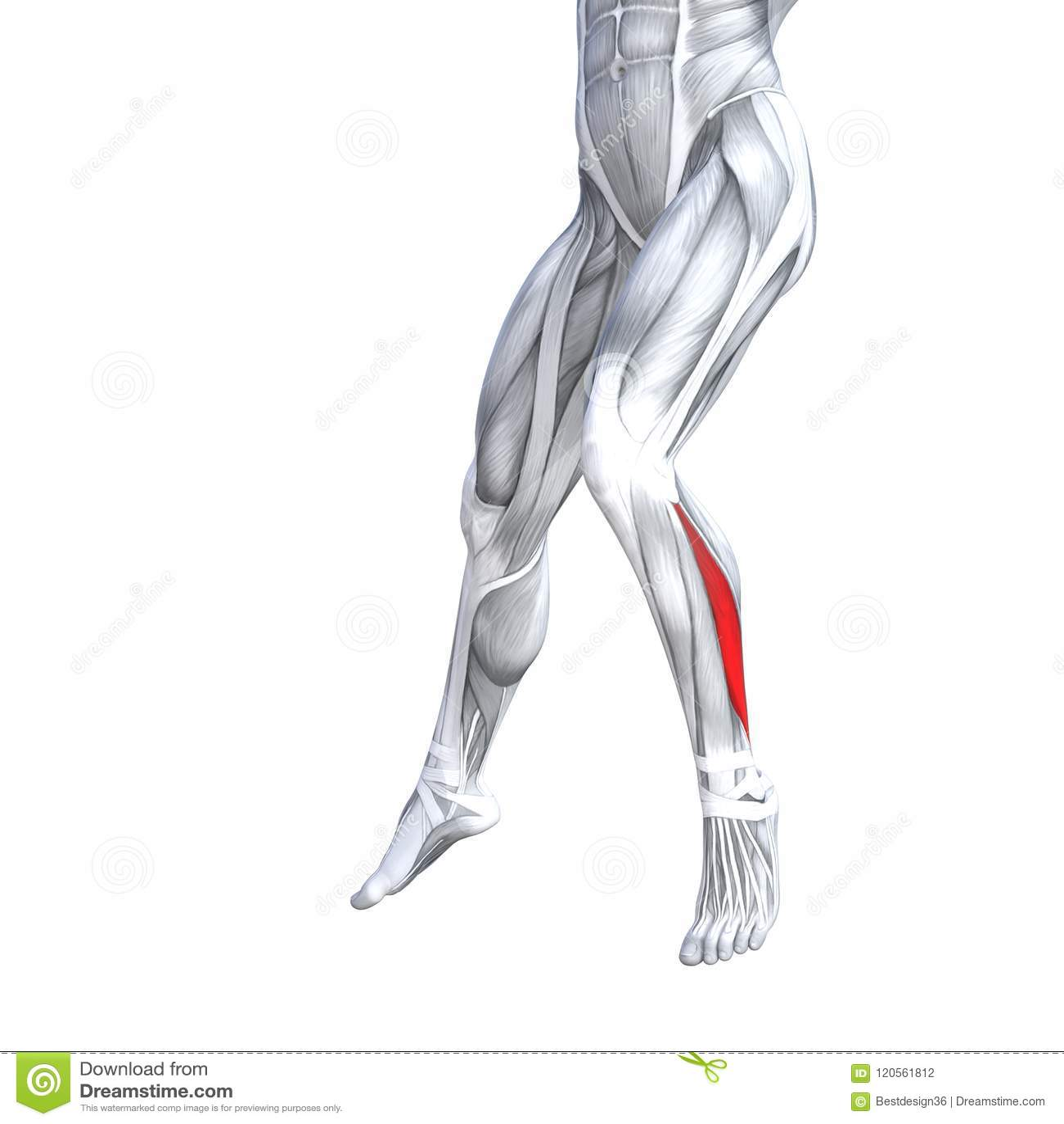 Anatomía Más Baja Delantera Del Ser Humano De La Pierna Stock de ...