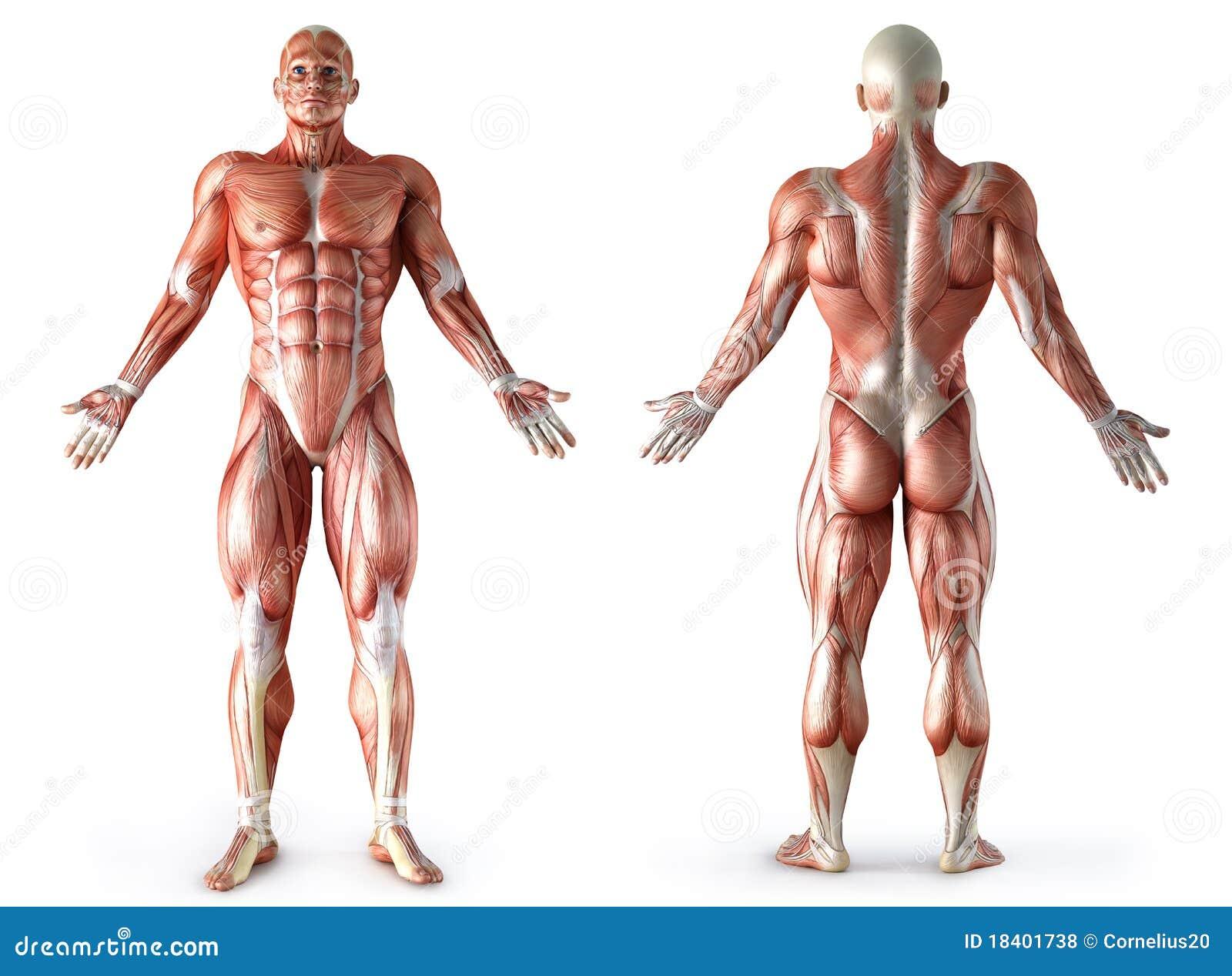 Músculos Llenos Del Cuerpo De La Anatomía Humana Stock de ...