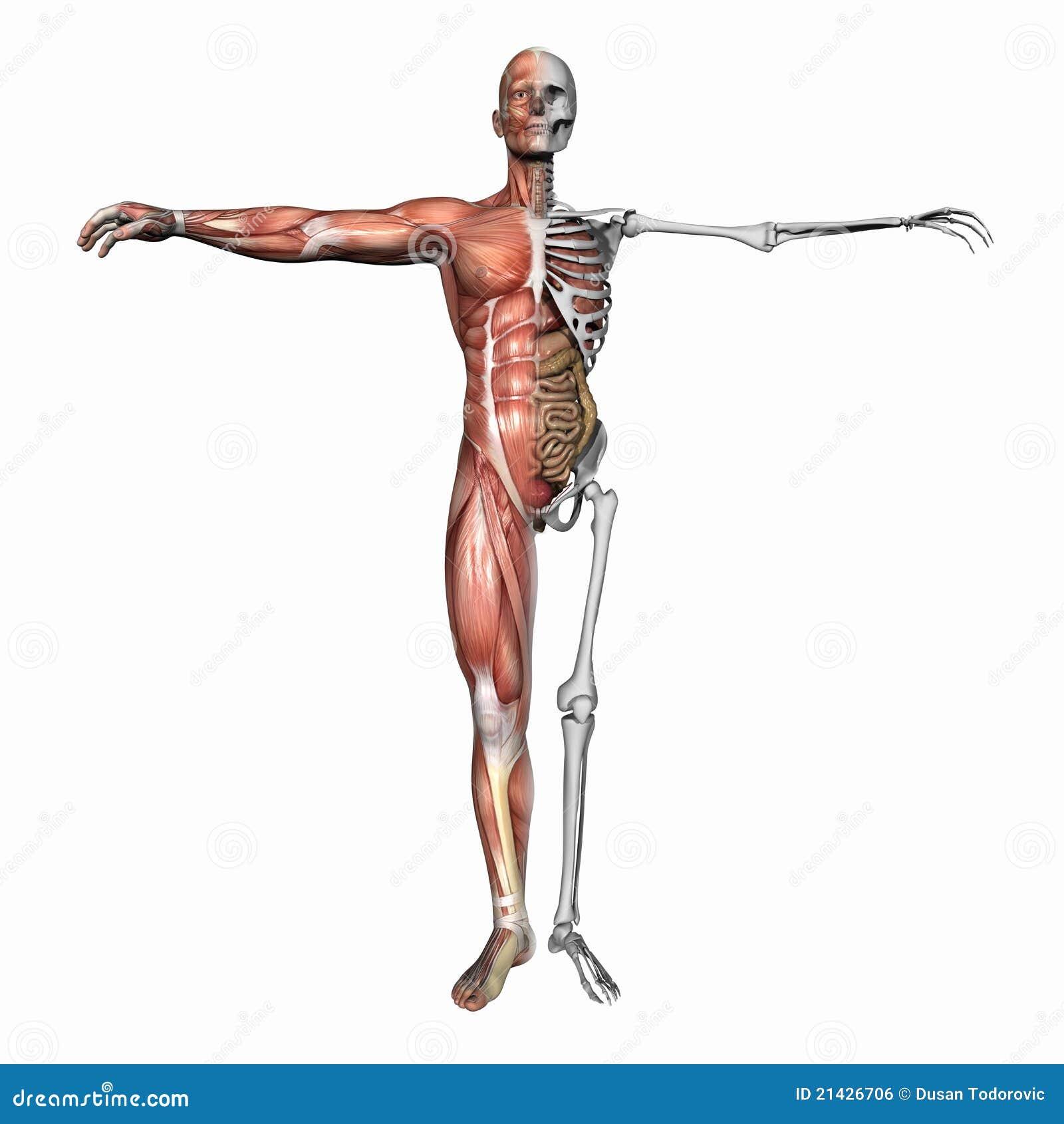 Lujo Músculo Esquelético Etiquetado Imagen - Anatomía de Las ...