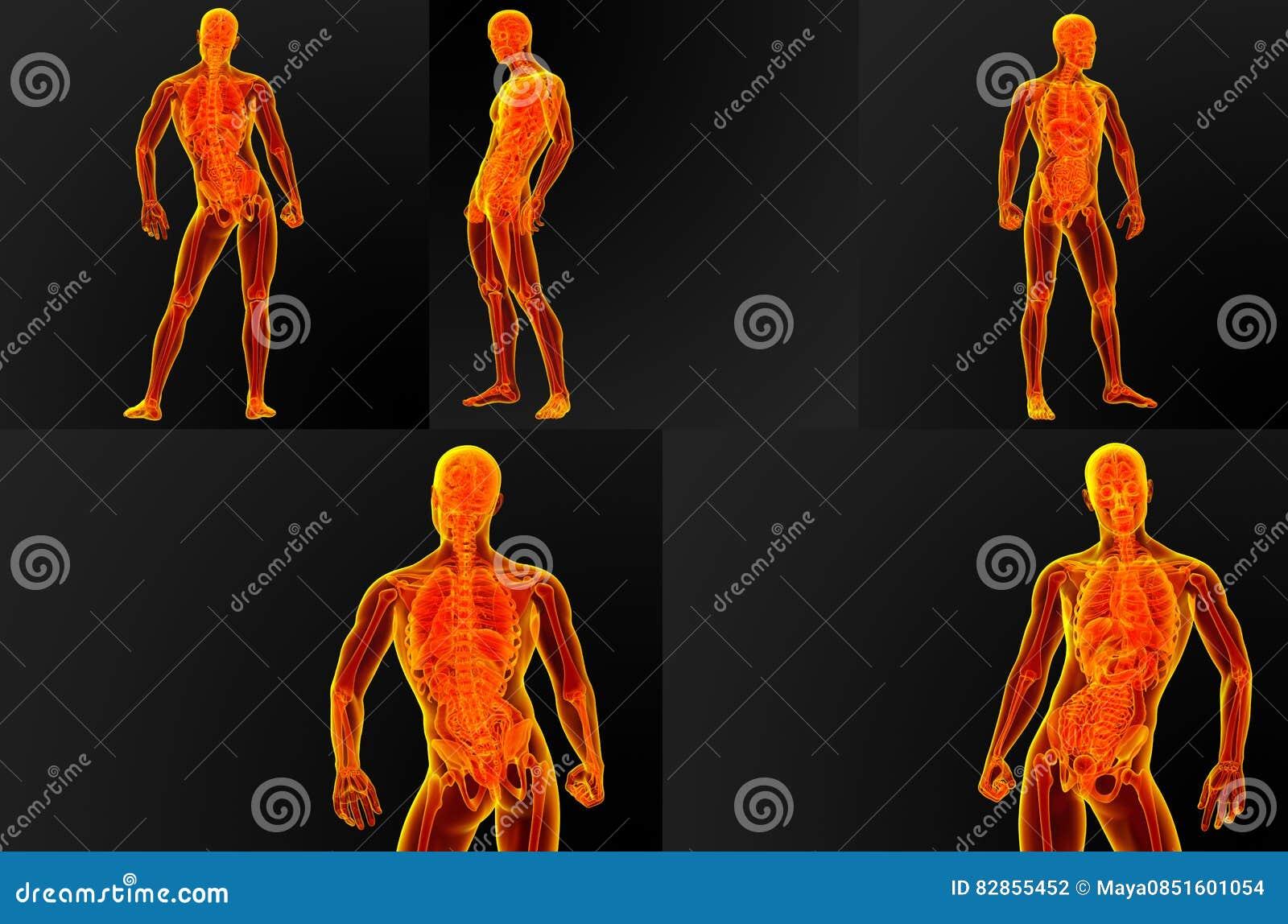 Anatomía masculina foto de archivo. Imagen de órgano - 82855452