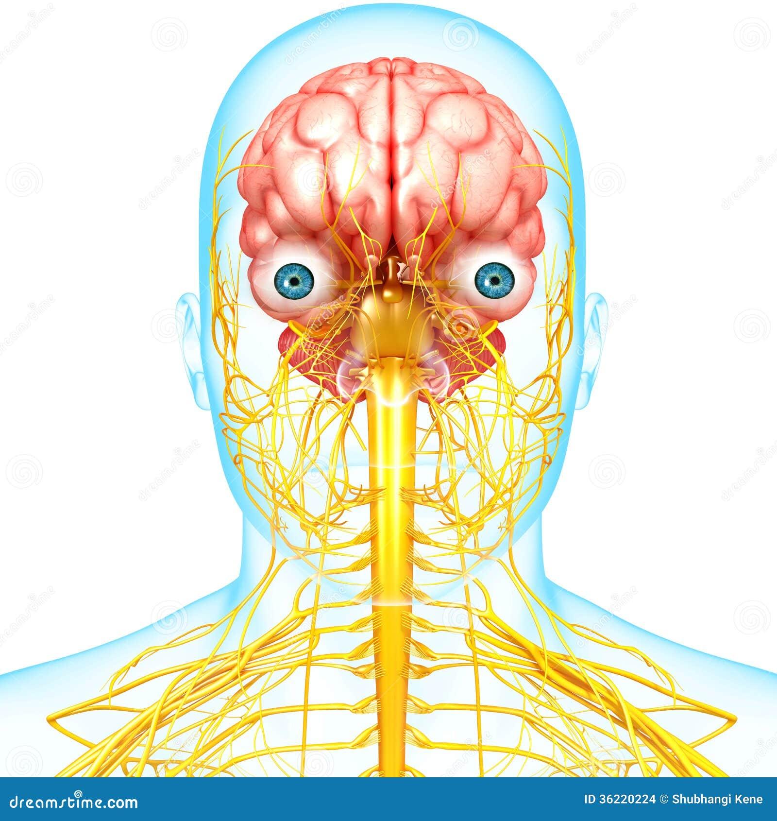 Anatomía Masculina Del Cerebro Con El Sistema Nervioso Stock de ...