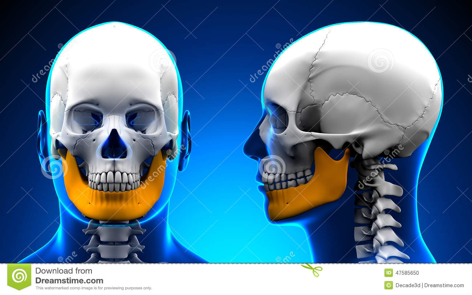 Anatomía Masculina Del Cráneo Del Hueso De La Mandíbula - Concepto ...