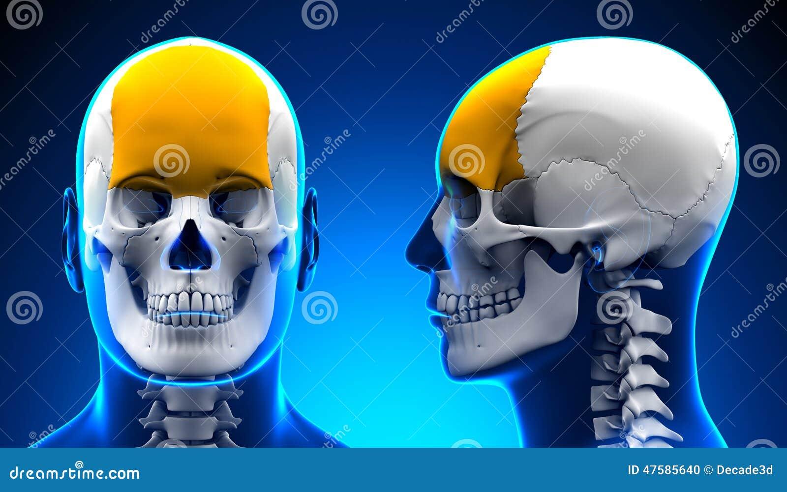 Anatomía Masculina Del Cráneo Del Hueso Frontal - Concepto Azul ...