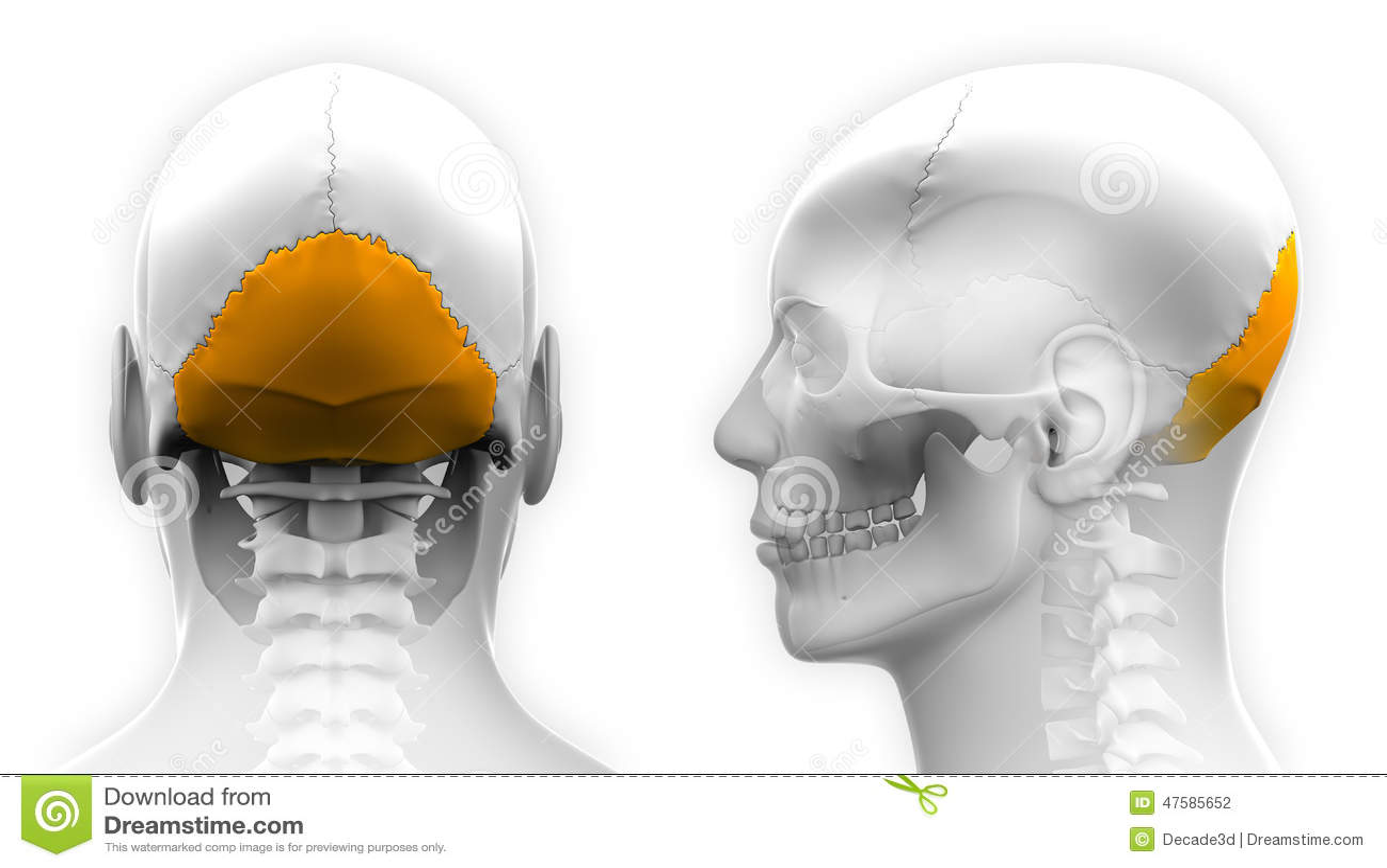 Anatomía Masculina Del Cráneo Del Hueso Occipital - Aislada En ...