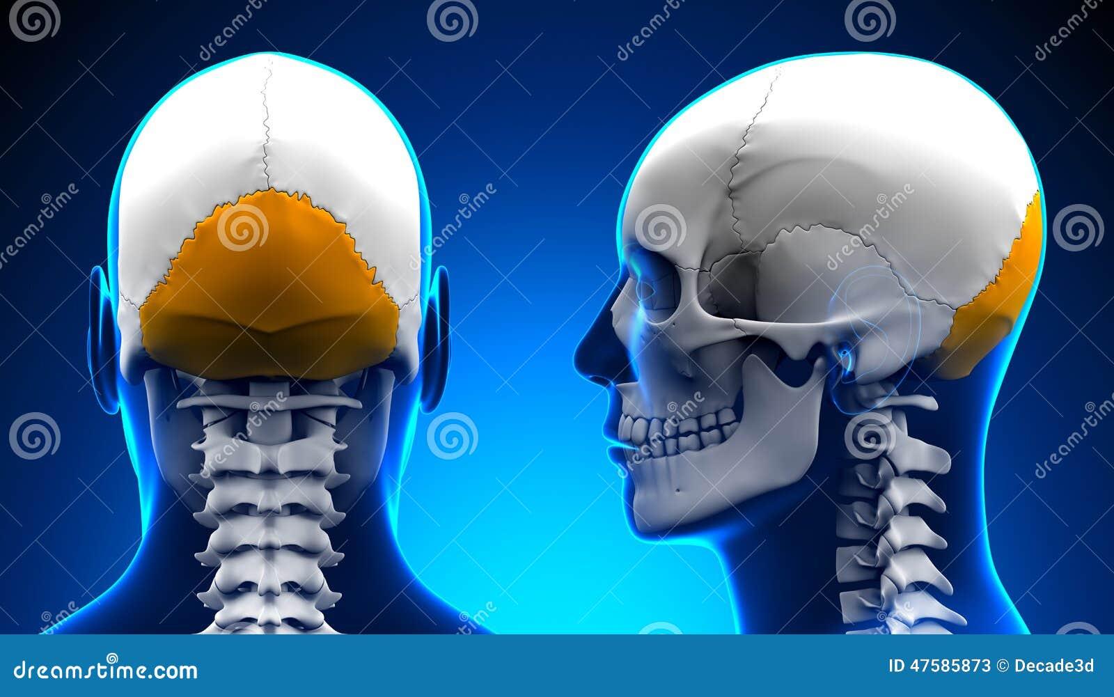 Anatomía Masculina Del Cráneo Del Hueso Occipital - Concepto Azul ...