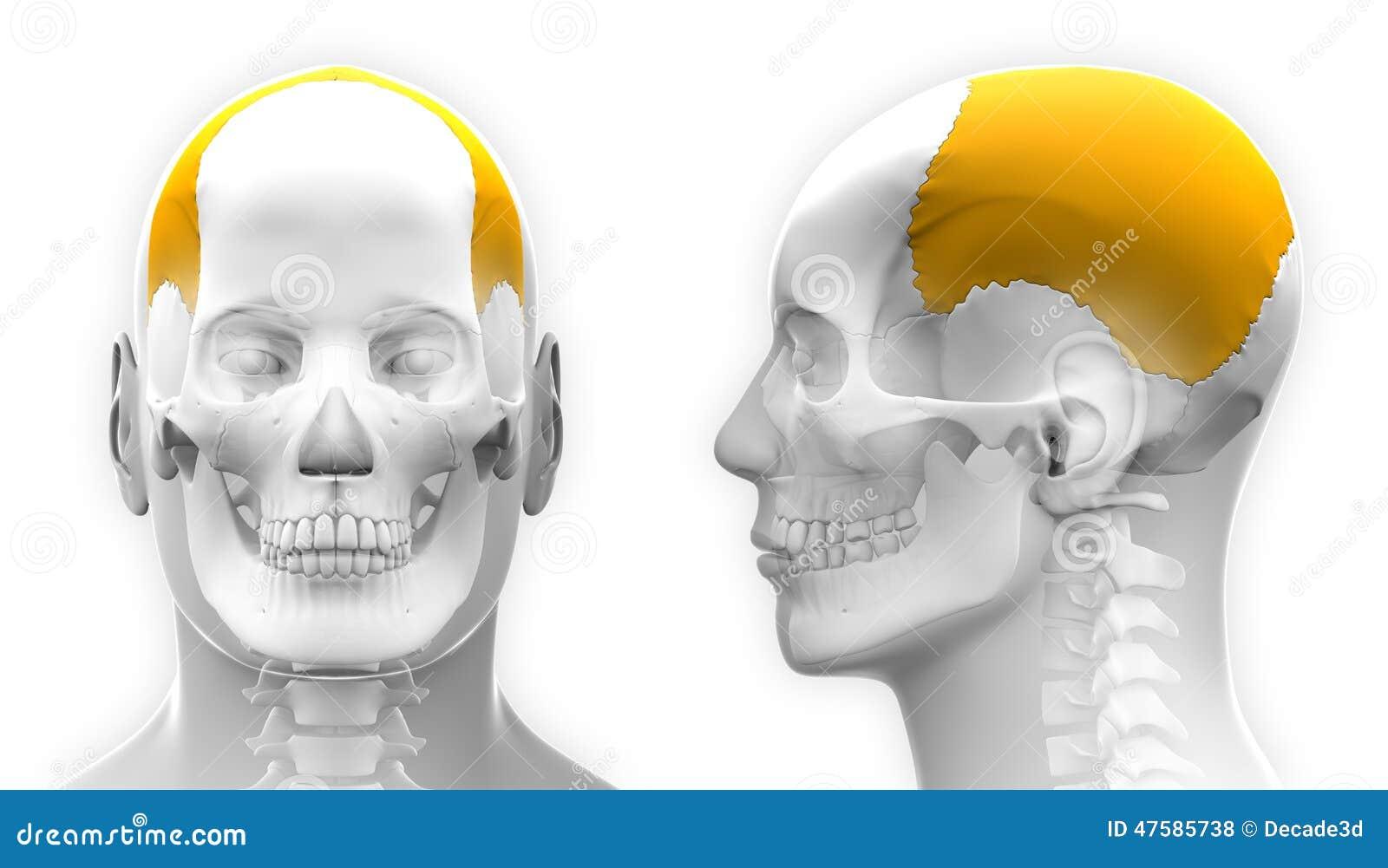 Contemporáneo Anatomía Y Fisiología Del Cráneo Colección de Imágenes ...