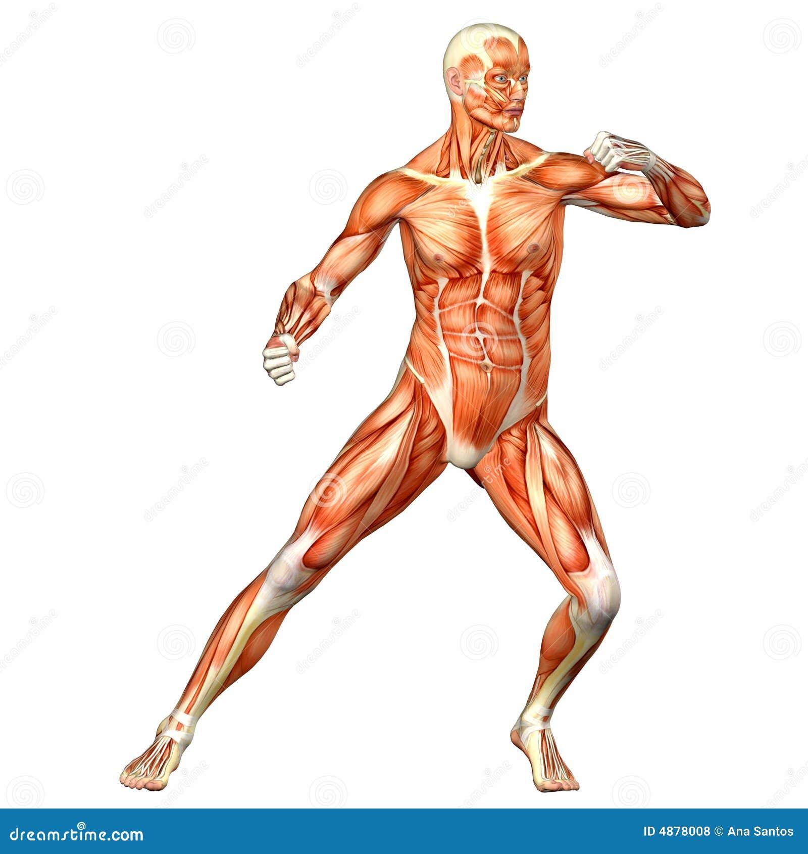 Vistoso Referencia Anatomía Masculina Modelo - Anatomía de Las ...