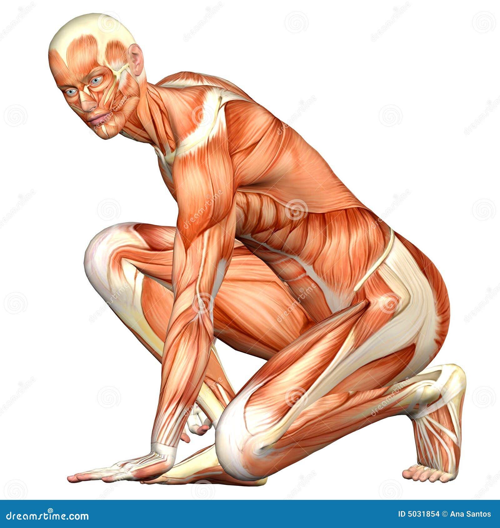 Anatomía Masculina Del Cuerpo Humano Stock de ilustración ...