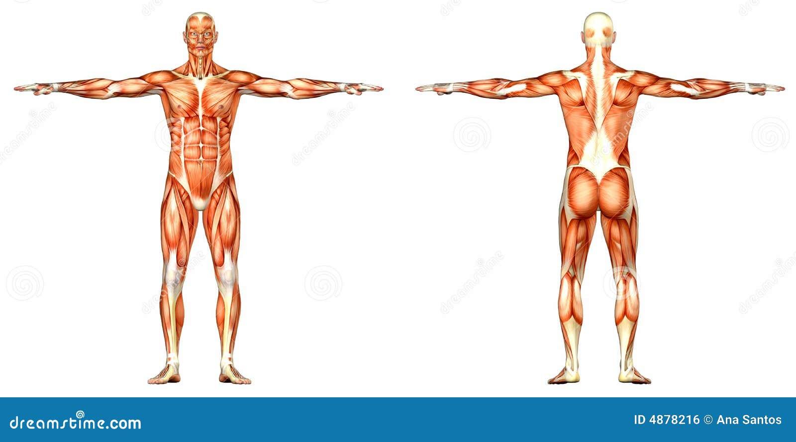 Anatomía Masculina Del Cuerpo Humano - Frente Y Parte Posterior ...