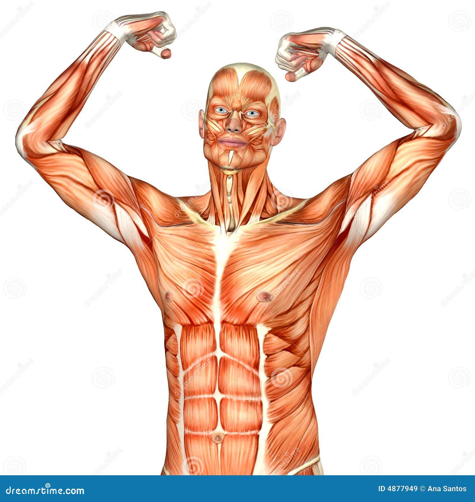 Anatomía Masculina Del Cuerpo Humano - Parte Superior Stock de ...