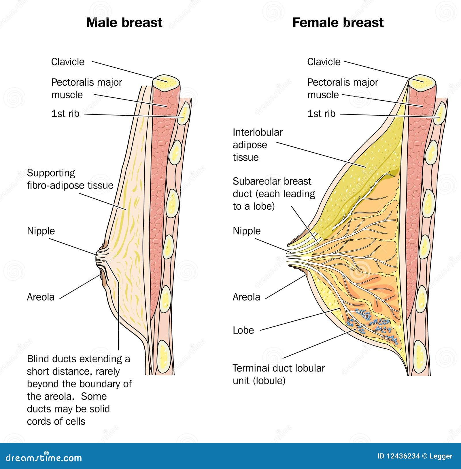 Anatomía Masculina Y Femenina Del Pecho Ilustración del Vector ...