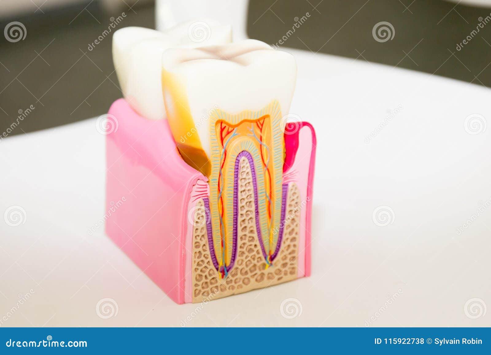 Anatomía modelo dental del concepto seccionado transversalmente del dentista del diente para la educación