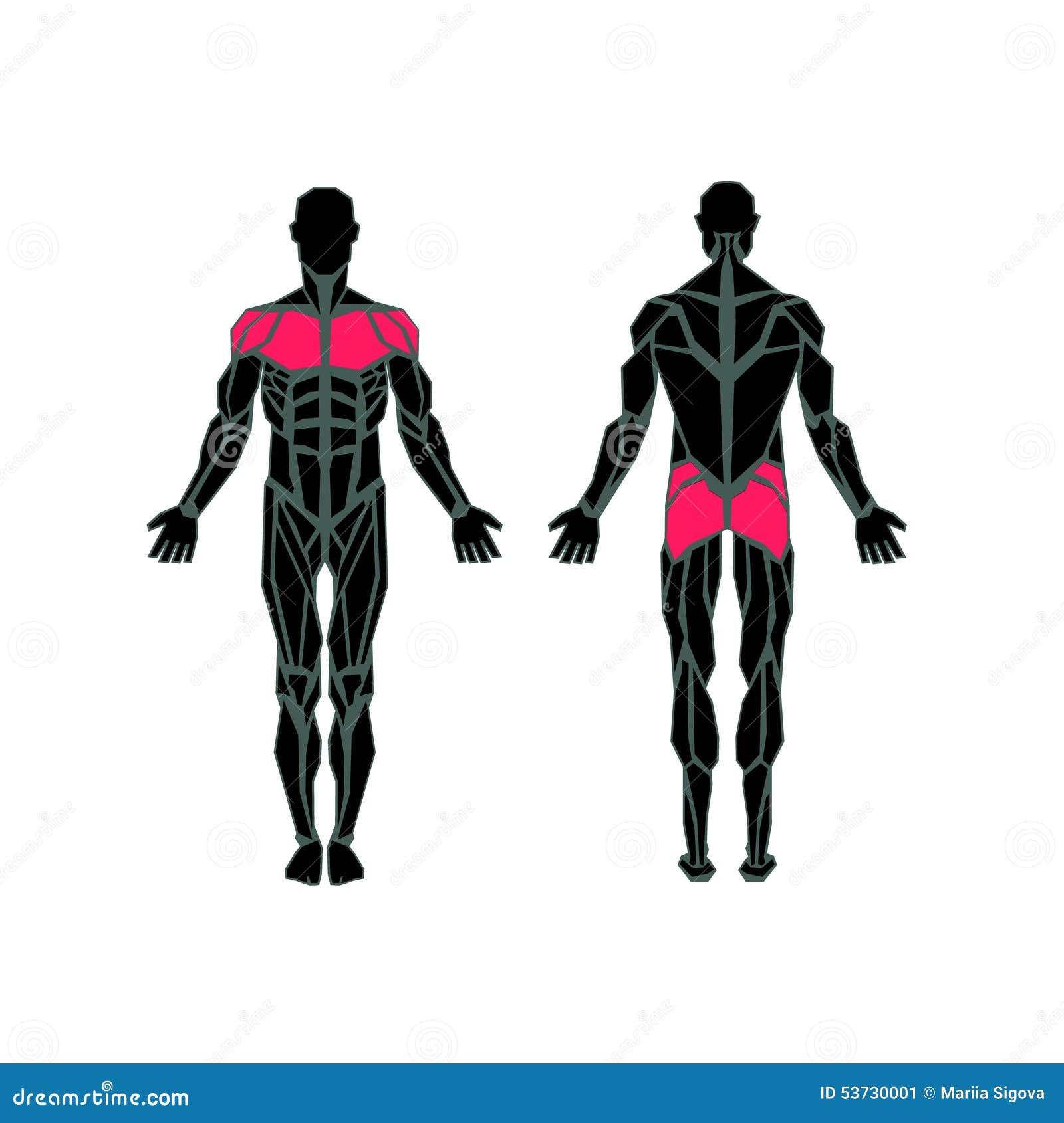 Anatomía Poligonal Del Sistema Muscular Masculino Ilustración del ...