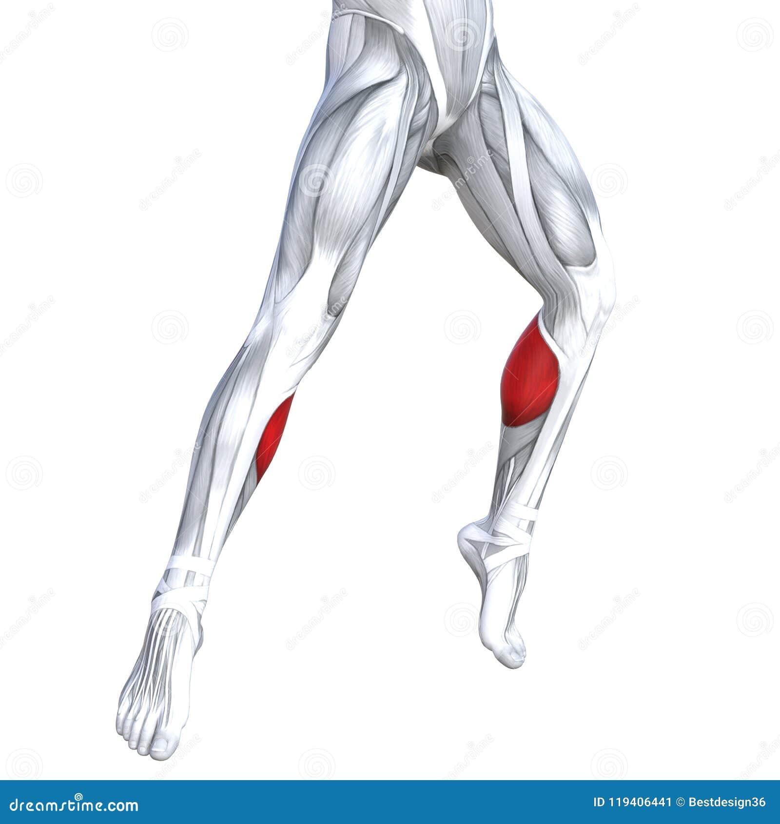 Anatomía Superior Delantera Del Ser Humano De La Pierna Stock de ...