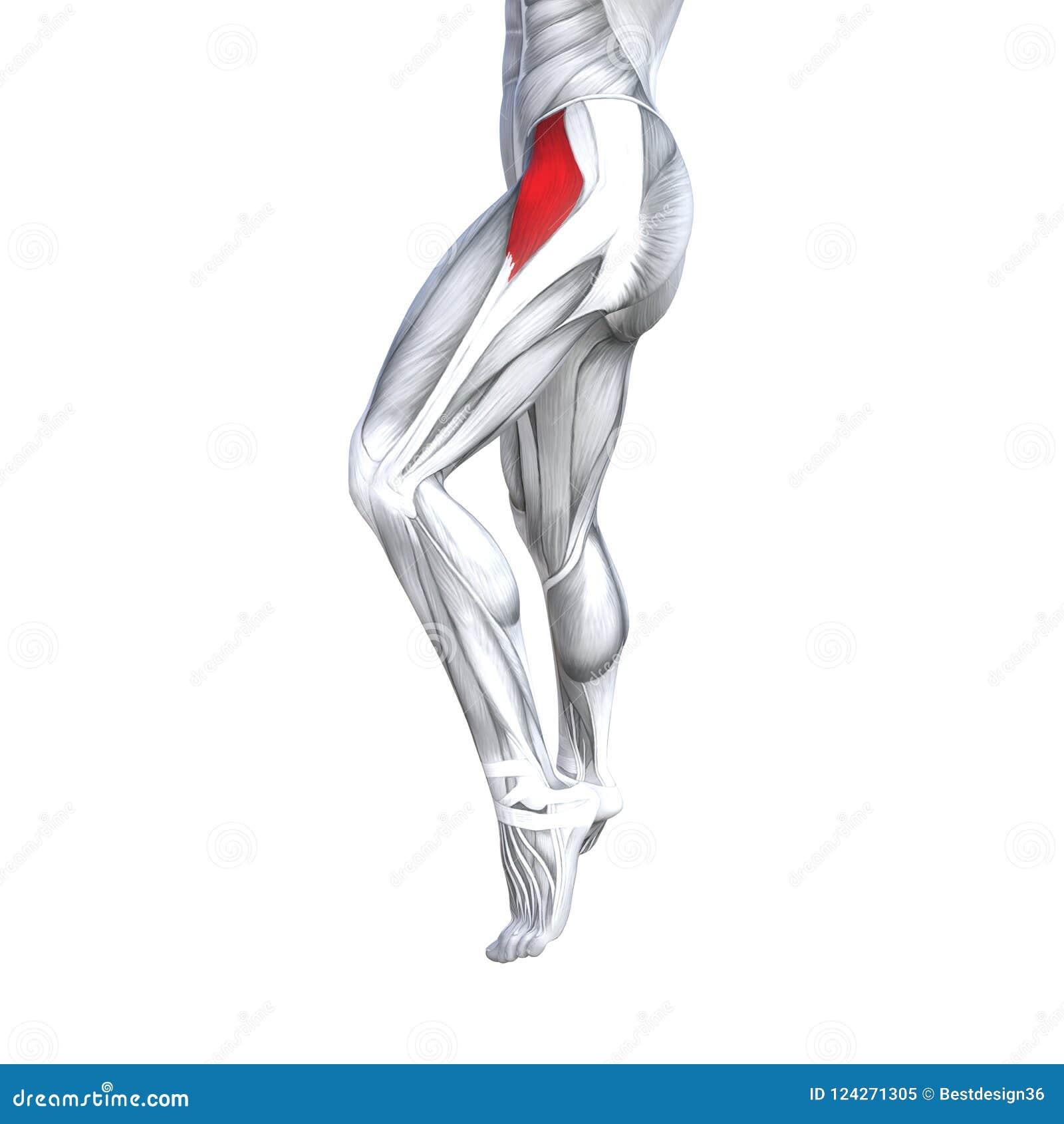 Anatomía Superior Delantera Fuerte Apta Del Ser Humano De La Pierna ...
