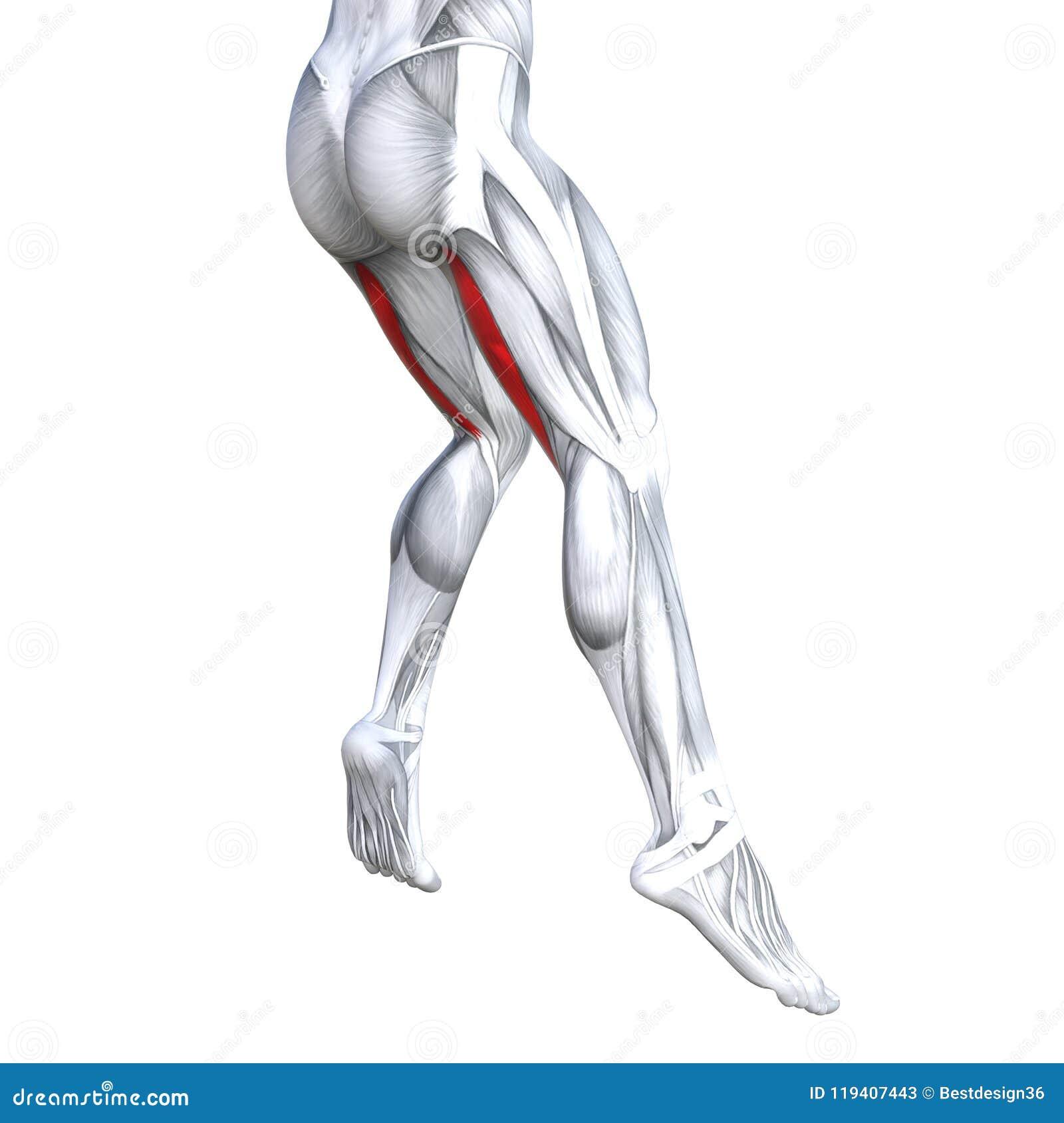 Anatomía Superior Trasera Del Ser Humano De La Pierna Stock de ...