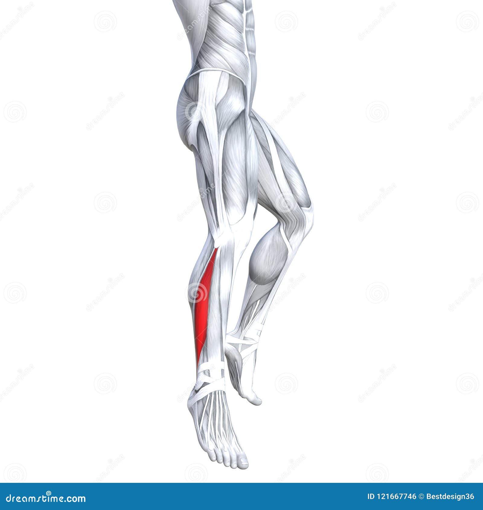 Anatomía Superior Trasera Fuerte Apta Del Ser Humano De La Pierna ...