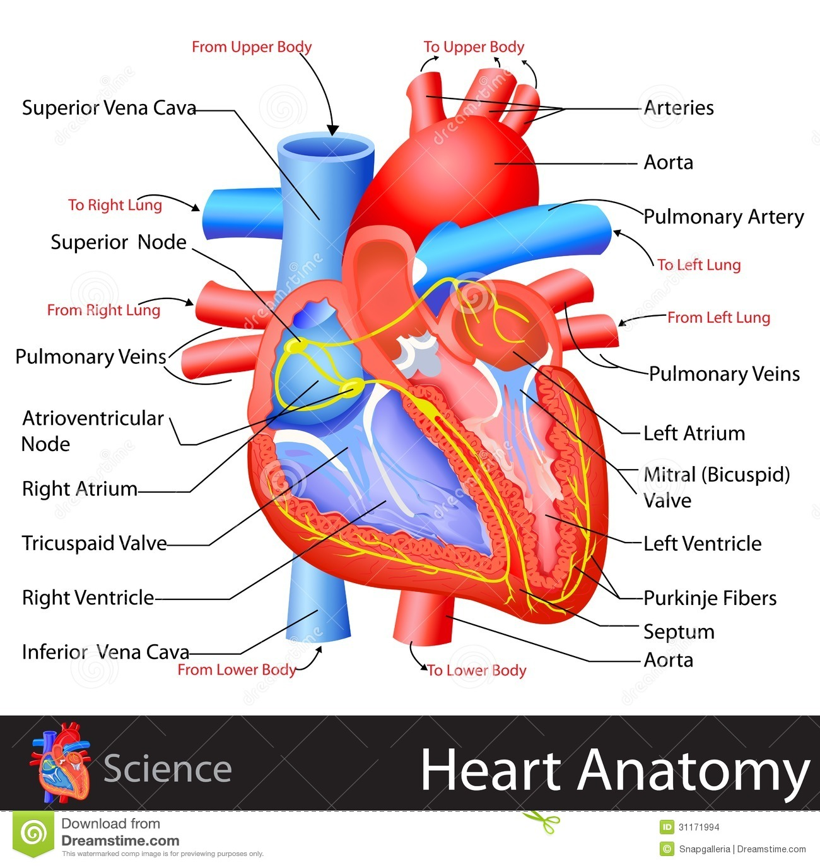 Anatom a del coraz n imagenes de archivo imagen 31171994 for Fotos del corazon