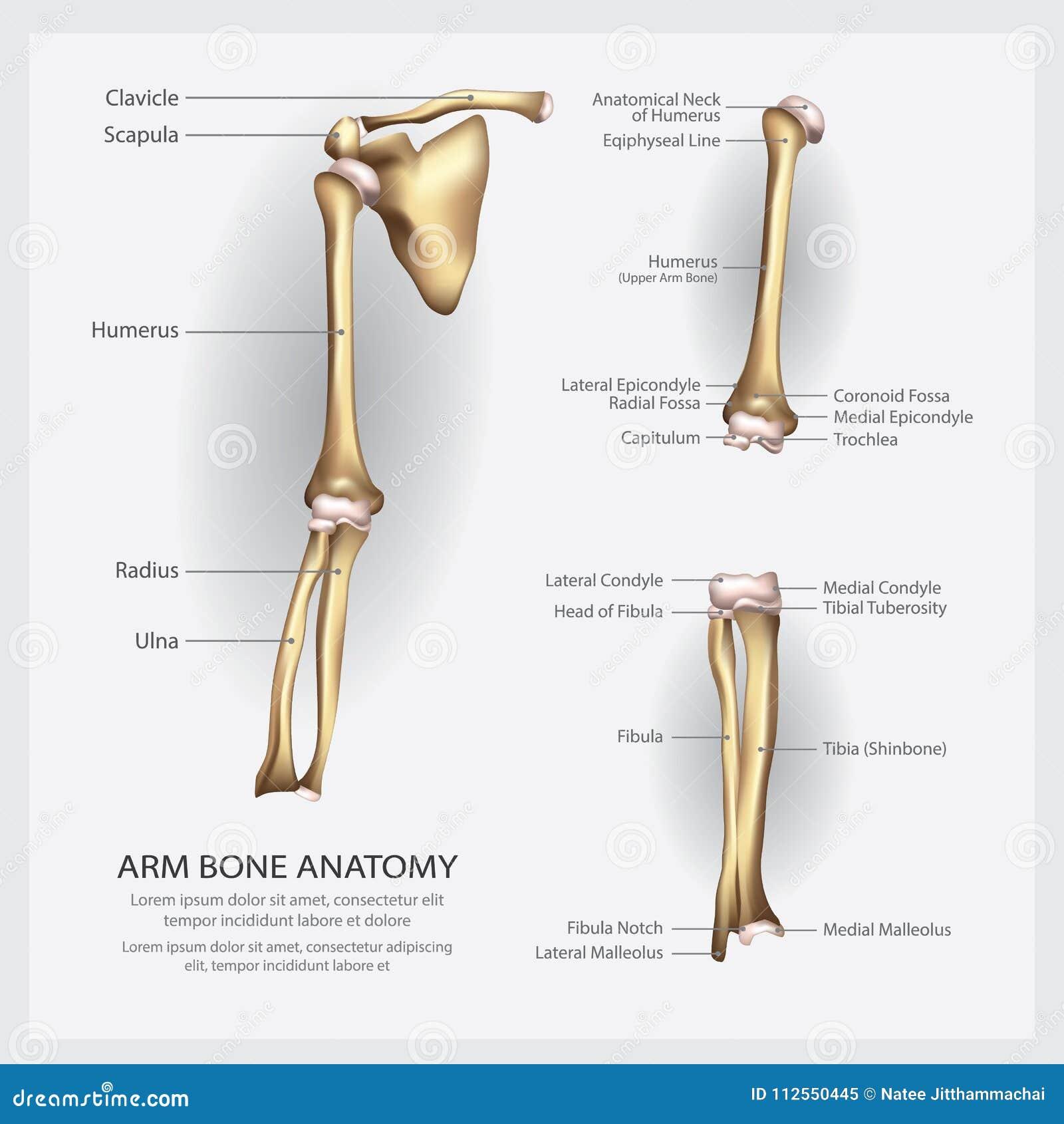 Anatomi för armben med detaljen