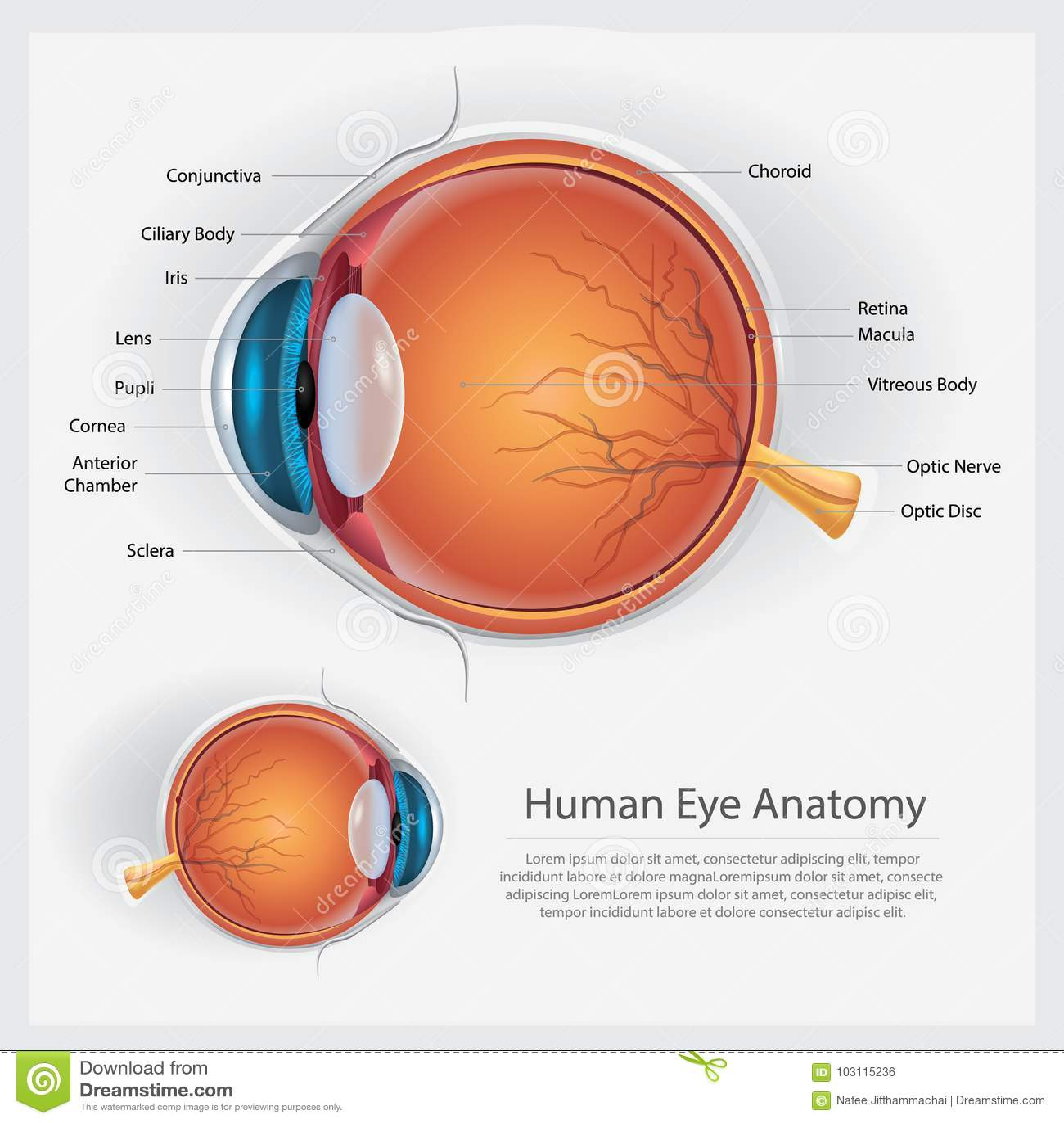 Anatomi för mänskligt öga