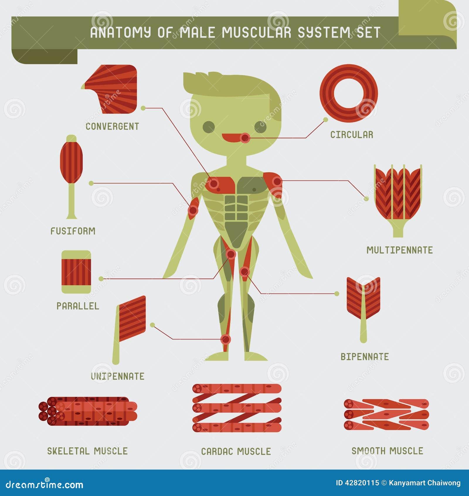 Anatomia del sistema muscolare maschio