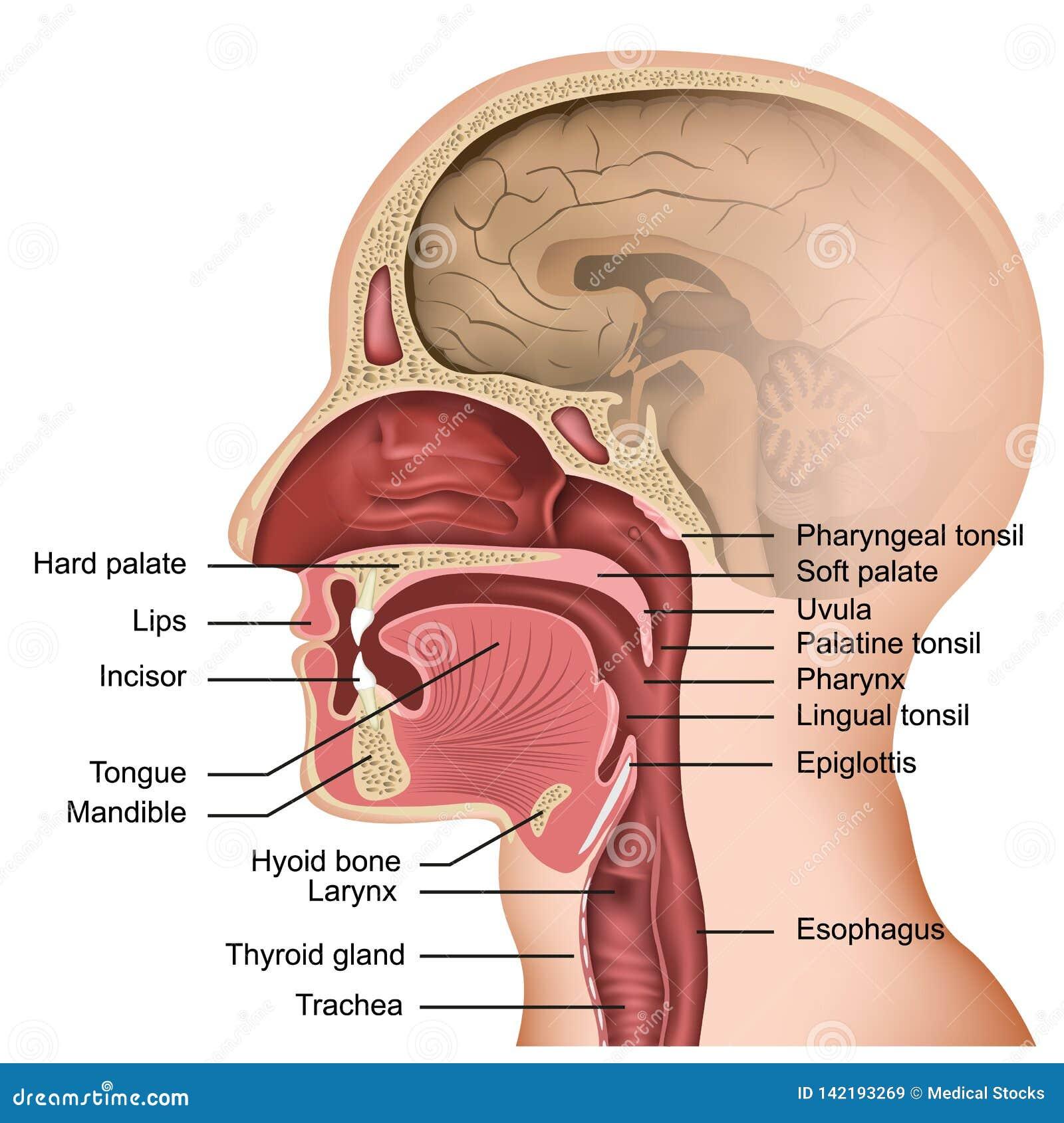 Anatomia dell illustrazione medica della lingua e della bocca su fondo bianco