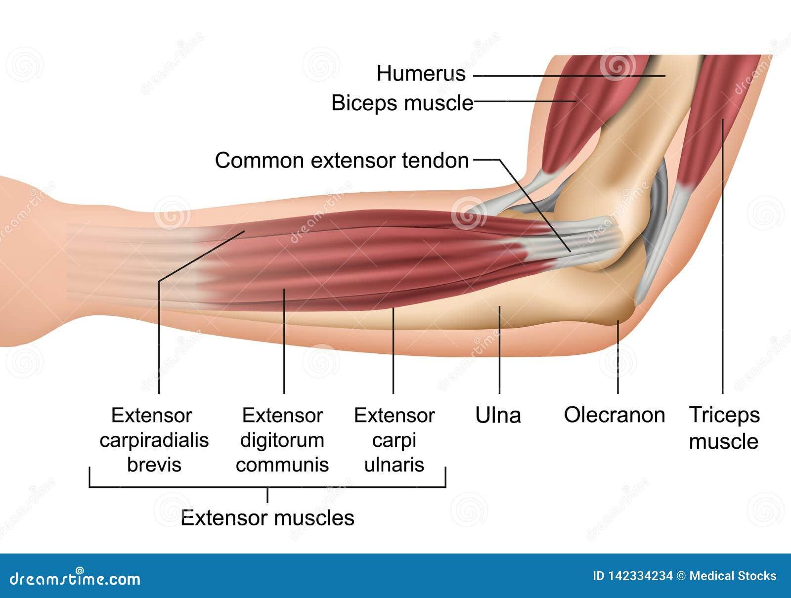 Anatomia dell illustrazione medica di vettore dei muscoli del gomito