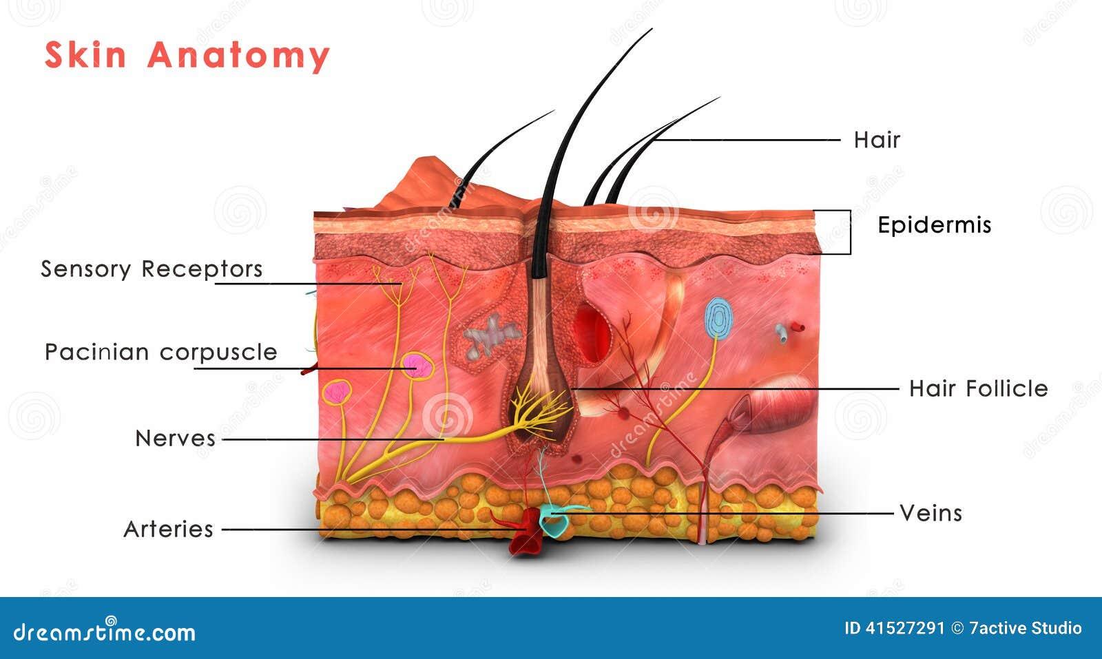 anatomia della pelle identificata illustrazione di stock immagine 41527291. Black Bedroom Furniture Sets. Home Design Ideas