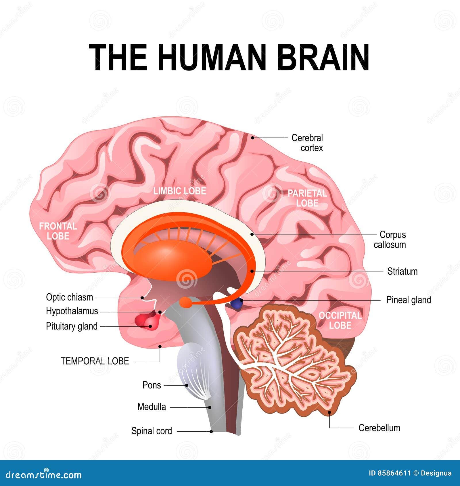 Anatomia dettagliata del cervello umano
