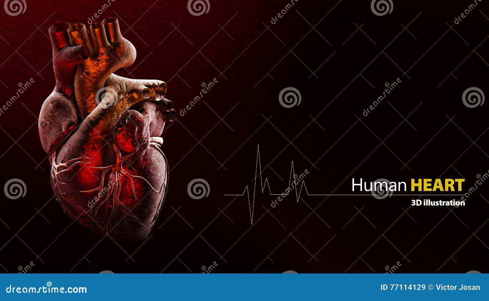 Anatomia di cuore umano