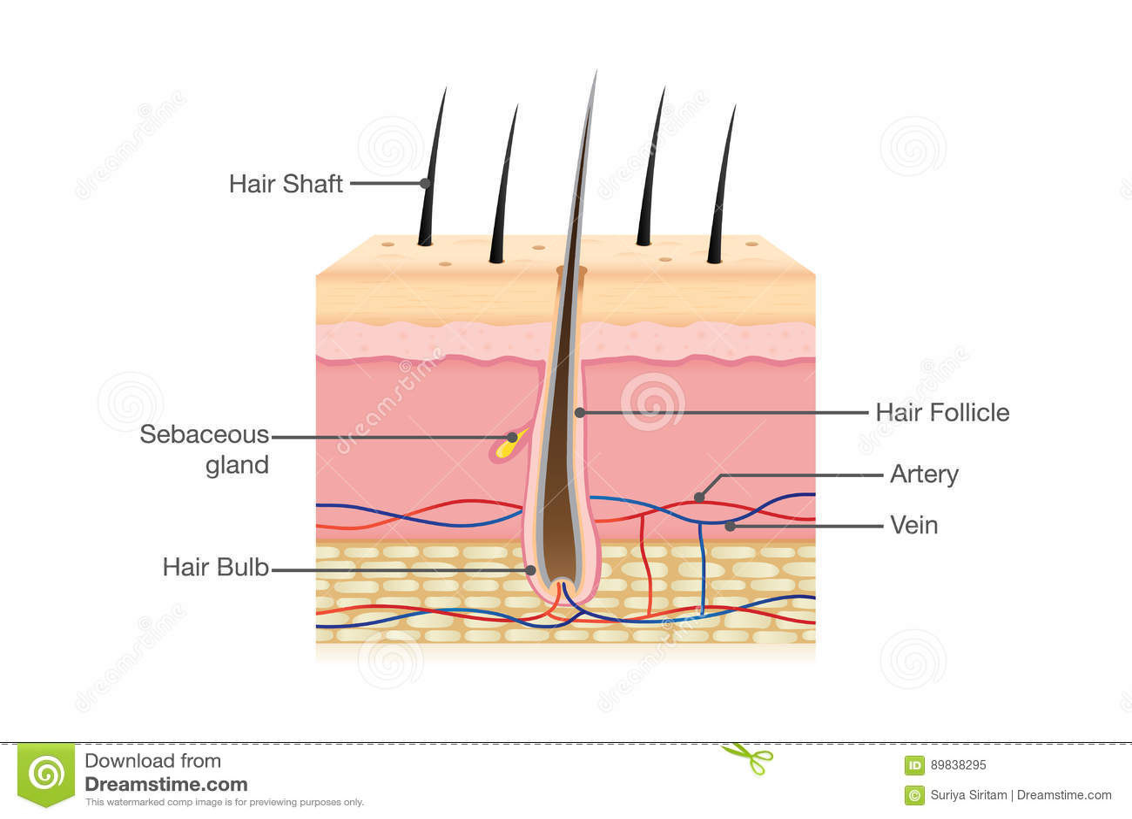 Anatomia do cabelo humano no isolado