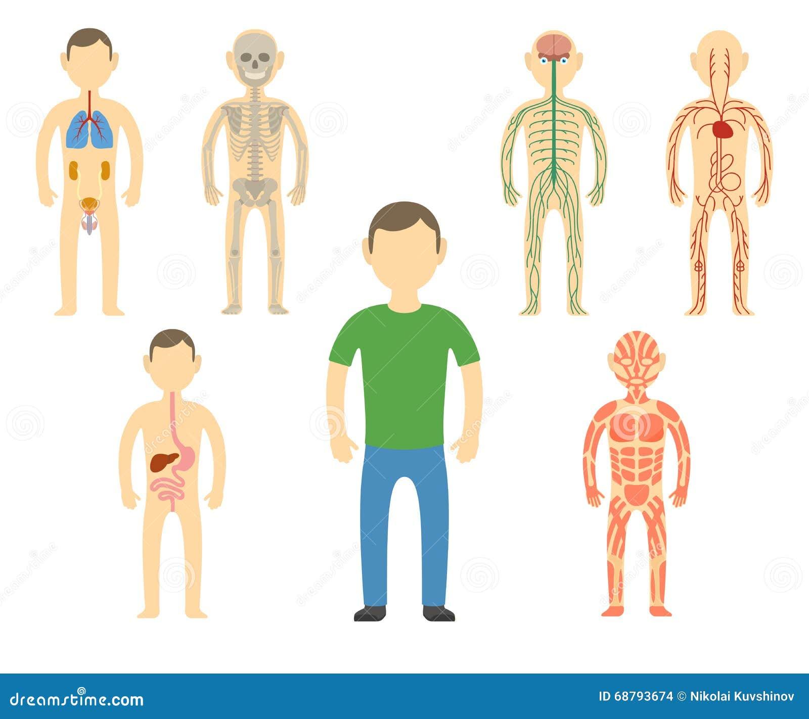 Anatomia Do Corpo Do Homem Dos Desenhos Animados Ilustracao Do