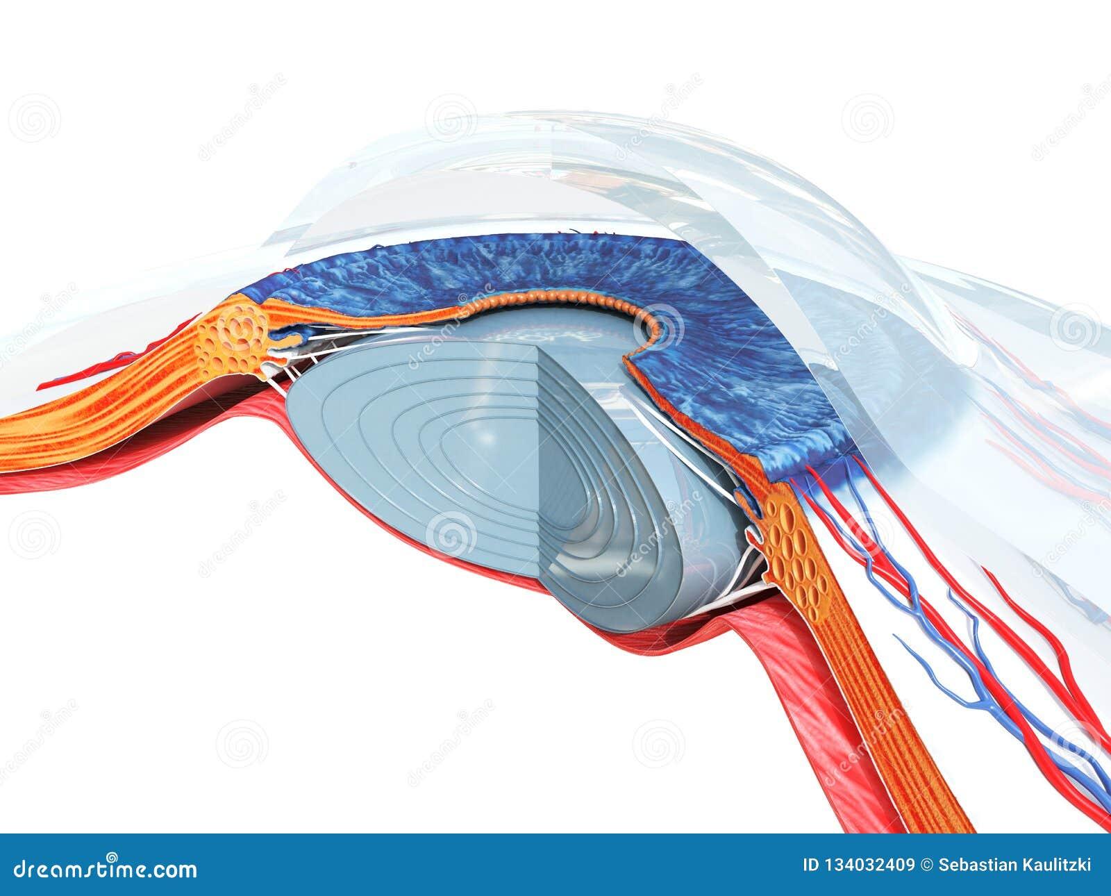 A anatomia do olho
