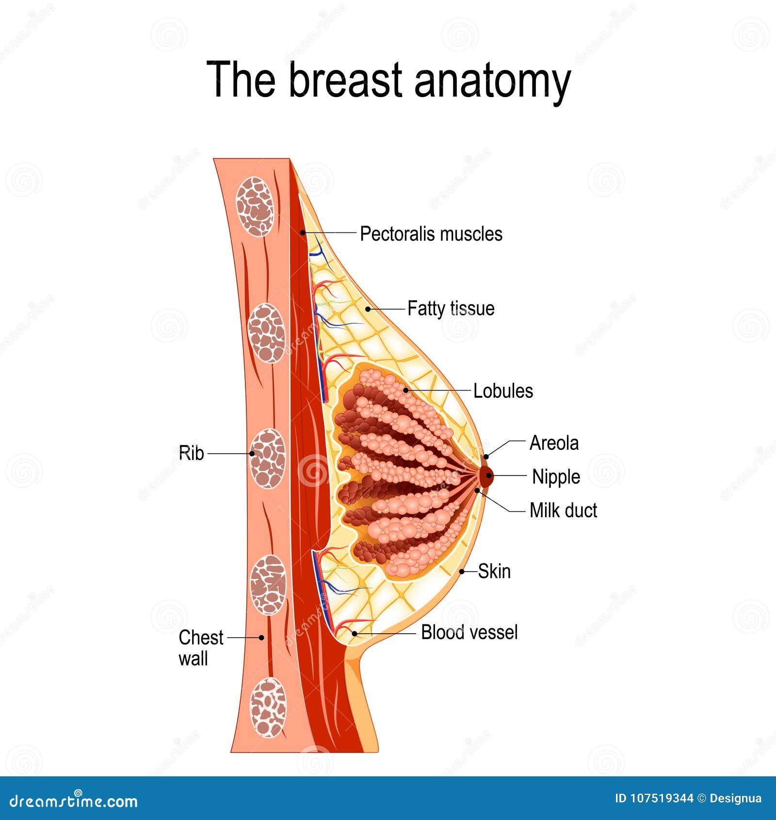 Anatomia do peito Seção transversal da glândula mamário