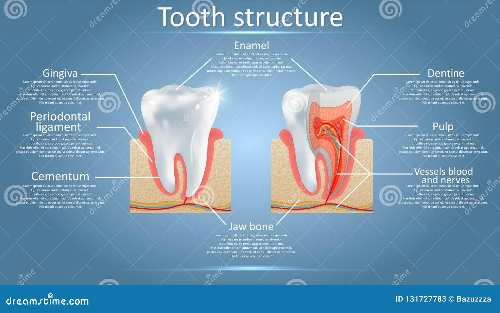 Anatomia do vetor e diagrama dentais da estrutura do dente