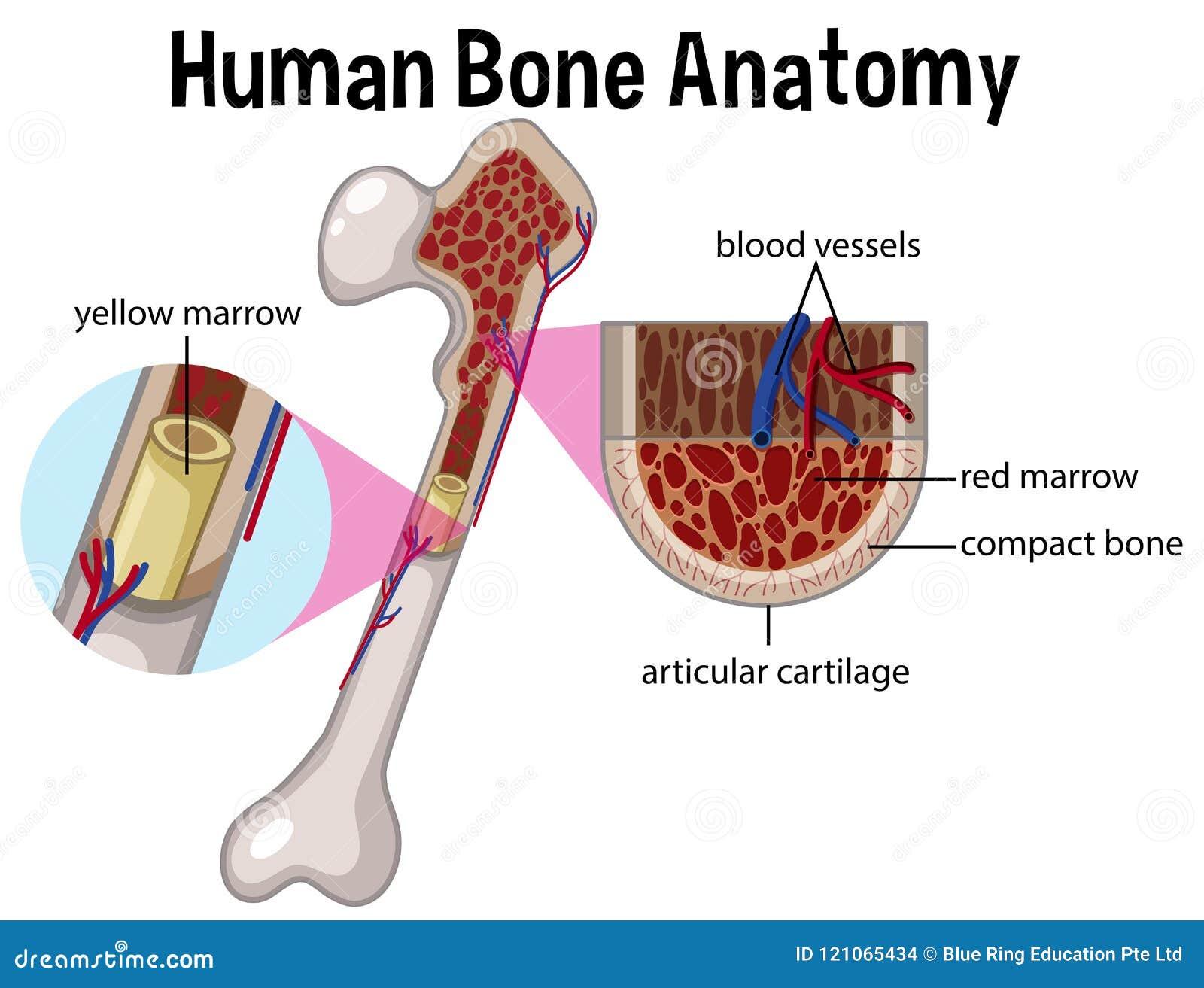 Anatomia e diagrama humanos do osso